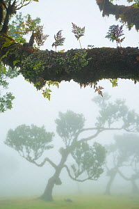 Ancient Laurel forest / Laurisilva with epiphytic ferns on trees UNESCO World Heritage Site, Maderia.  -  Edwin Giesbers