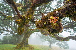 Epiphyte on Laurel tree in ancient Laurel forest / Laurisilva UNESCO World Heritage Site, Maderia.  -  Edwin Giesbers