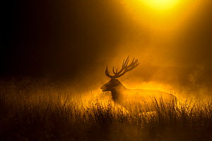 Red deer (Cervus elaphus) silhoutted  at dusk, Richmond Park, London, England, UK. October.  -  Edwin Giesbers