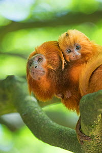 Golden lion tamarin (Leontopithecus rosalia) captive, endangered, from South America; mother with baby;  -  Edwin Giesbers