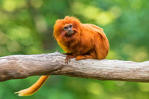 Golden lion tamarin (Leontopithecus rosalia) captive, endangered, from South America;  -  Edwin Giesbers