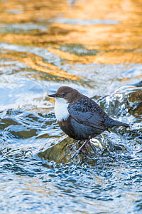 RF - Eurasian dipper (Cinclus cinclus) in river, The Netherlands. March. (This image may be licensed either as rights managed or royalty free.)  -  Edwin Giesbers