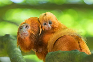 RF - Golden lion tamarin (Leontopithecus rosalia) ; mother with baby. Captive, Endangered, from South America (This image may be licensed either as rights managed or royalty free.)  -  Edwin Giesbers