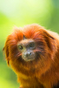 RF - Golden lion tamarin (Leontopithecus rosalia) captive, endangered, from South America. (This image may be licensed either as rights managed or royalty free.)  -  Edwin Giesbers