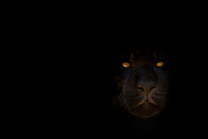 RF - Black jaguar (Panthera onca) head portrait with eyes shining in the dark, captive, occurs in Central and South America. (This image may be licensed either as rights managed or royalty free.)  -  Edwin Giesbers