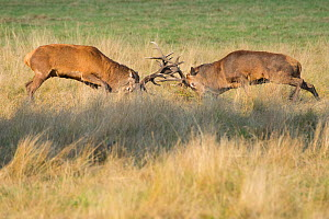 RF - Red deer (Cervus elaphus) stags fighting during rut, Richmond Park, London, England, UK. (This image may be licensed either as rights managed or royalty free.)  -  Edwin Giesbers