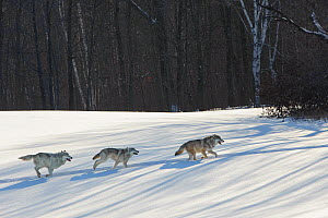Grey wolves running in snow (Canis lupus), Minnesota, USA. January. Controlled situation. - John Shaw