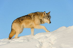 Grey wolf in snow (Canis lupus), Minnesota, USA. January. Controlled situation. - John Shaw
