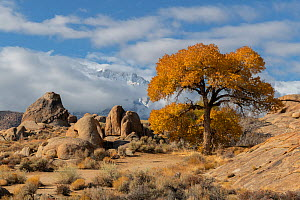 Cottonwood trees (Populus sp) in autumn color and weathered granite boulders, in the Alabama Hills, California, USA, November.  -  John Shaw