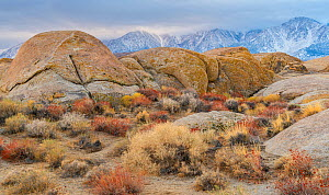 Deeply weathered granite boulders and buckwheat (Eriogonum) below the snow covered Sierra Nevada Mountains, in the Alabama Hills, California, USA, November.  -  John Shaw