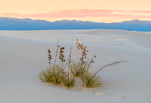 Soaptree yucca (Yucca elata) on gypsum dune at last light, with San Andreas Mountains in distance. White Sands National Monument, New Mexico, USA. December,  -  John Shaw
