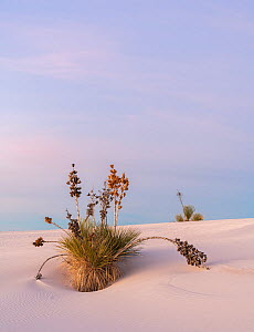 Soaptree yucca (Yucca elata) on gypsum dune at first light. White Sands National Monument, New Mexico, USA. December,  -  John Shaw
