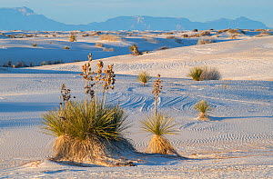 Soaptree yuccas (Yucca elata) and wind-patterned sand. White Sands National Monument, New Mexico, USA. December,  -  John Shaw