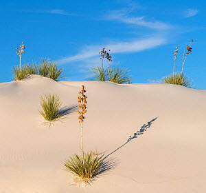 Soaptree yucca (Yucca elata) on gypsum dun,  White Sands National Monument, New Mexico, USA.  December  -  John Shaw