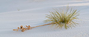 Soaptree yucca (Yucca elata) with broken flower stalk on gypsum dune. White Sands National Monument, New Mexico, USA. December,  -  John Shaw