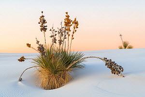 Soaptree yucca (Yucca elata) in pre-sunrise light. White Sands National Monument, New Mexico, USA. December,  -  John Shaw