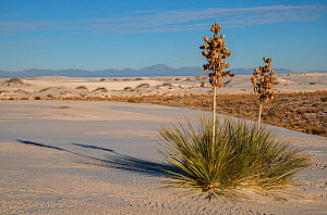 Soaptree yucca (Yucca elata) in early morning, with the San Andreas Mountains in the distance. White Sands National Monument, New Mexico, USA. December,  -  John Shaw