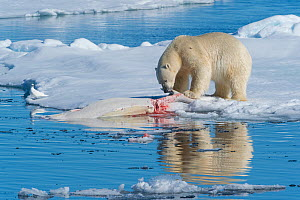 Polar bear (Ursus maritimus) feeding on dead beluga whale carcass, in the pack ice near Kong Karls Land, Spitsbergen, Svalbard, Norway.July.  -  John Shaw