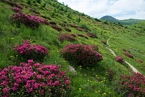 Rhododendron (Rhododendron ferrugineum) flowering on hillside, Champsaur, Ecrins National Park, France, June 2018.  -  Jean E. Roche