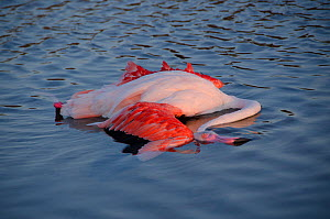 Dead European flamingo (Phoenicopterus roseus) in shallow water, Camargue, France. August.  -  Jean E. Roche