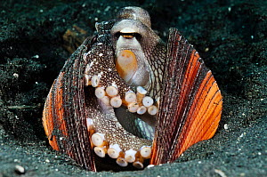 Veined Octopus, Coconut Octopus (Amphioctopus marginatus, formerly Octopus marginatus), inhabiting discarded bivalve mollusc shells, which it collects and pulls around itself - defense, shelter, intel... - Linda Pitkin
