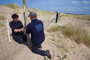 RSPB and Denbighshire County Council Staff putting up fencing to protect Little terns (Sterna albifrons) nesting on beach, Denbighshire, Wales, UK.  -  David  Woodfall