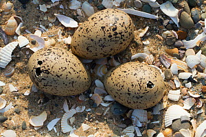 Oystercatcher (Haematopus ostralegus) eggs on the point of hatching with holes made by chicks, County Wicklow, Ireland, June.  -  David  Woodfall