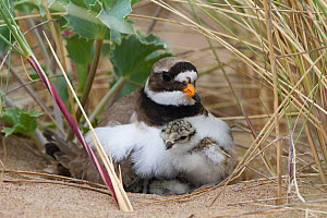 Ringed plover (Charidrius hiaticula) with newly hatched chick, County Wicklow, Ireland, June. Remote camera.  -  David  Woodfall