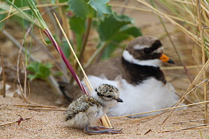 Ringed plover (Charidrius hiaticula) with newly hatched chick, County Wicklow, Ireland, June.  -  David  Woodfall