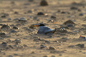 Little tern (Sterna albifrons) sitting on eggs at nest scrape on beach, County Wicklow, Ireland, June.  -  David  Woodfall
