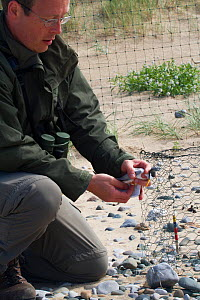 Little tern (Sterna albifrons) held by researcher during ringing, County Wicklow, Ireland, June.  -  David  Woodfall