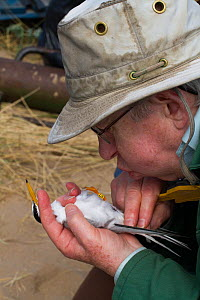 Researcher blowing on Little tern (Sterna albifrons) to move feathers to check gender. County Wicklow, Ireland, June.  -  David  Woodfall