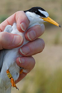 Little Tern (Sterna albifrons) just ringed, held by researcher. County Wicklow, Ireland, June.  -  David  Woodfall