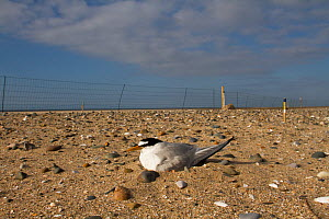 Little Tern (Sterna albifron) sitting on eggs on beach within electric fence for protection against predators like Foxes, as part of bird protection scheme. County Wicklow, Ireland, June.  -  David  Woodfall