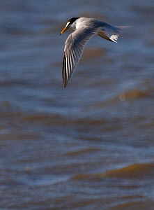 Little tern (Sterna albifrons) hovering, Denbighshire, Wales, UK.  -  David  Woodfall