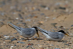 Little Terns ( Sterna albifrons ) displaying prior to nesting, Denbighshire, Wales, UK. March.  -  David  Woodfall