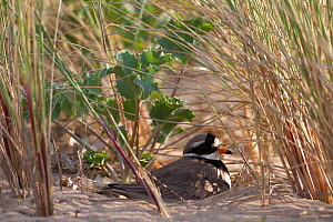 Ringed plover (Charadrius hiaticula ) nesting amonst Sea Holly and Marram grass. County Wicklow, Ireland, June.  -  David  Woodfall