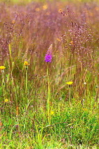 Chalk fragrant orchid (Gymnadenia conopsea) in grassland, disused limestone quarry, North Wales Wildlife Trust reserve. Near Minera, Wales, UK. July.  -  Alan  Williams