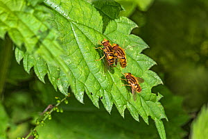 Hoverfly (Parhelophilus frutetorum) pair mating alongside another, on leaf. Cheshire, England, UK. June. - Alan  Williams