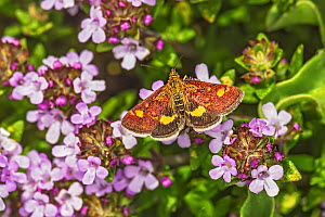 Mint moth (Pyrausta aurata) nectaring on Thyme (Thymus sp) in garden, Cheshire, England, UK. May.  -  Alan  Williams