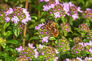 Red mason bee (Osmia bicornis) nectaring on Thyme (Thymus sp). In garden, Cheshire, England, UK. April.  -  Alan  Williams