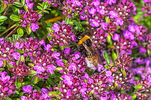 Vestal cuckoo bee (Bombus vestalis) nectaring on Thyme (Thymus sp) in garden, Cheshire, England, UK. June.  -  Alan  Williams