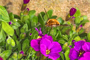 Western bee-fly (Bombylius canescens) nectaring on Aubretia (Aubretia sp) flower in garden. Cheshire, England, UK. April. - Alan  Williams