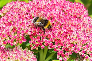 White-tailed bumblebee (Bombus lucorum) nectaring on Sedum (Crassulaceae) flower in garden. Cheshire, England, UK. August.  -  Alan  Williams