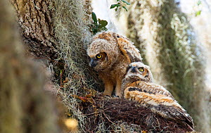 Great horned owl (Bubo virginianus) young,  North Florida, USA, March.  -  Barry Mansell