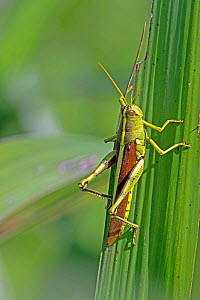 Obscure birdwing grasshopper (Schistocerca obscura) North Florida, USA, October.  -  Barry Mansell