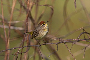 Palm warbler(Dendroica palmarum) perched, North Florida, USA, October.  -  Barry Mansell