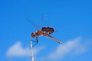 Red saddlebags (Tramea onusta) Ocala National Forest, North Florida, USA, April.  -  Barry Mansell