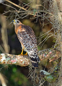 Red-shouldered hawk (Buteo lineatus) North Florida, USA, January. - Barry Mansell