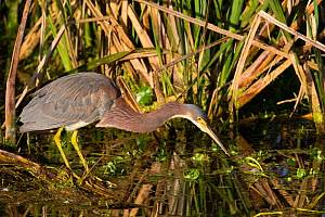 Tricolored heron (Egretta tricolor) Sweetwater Refuge, Gainesville, Florida, USA, December.  -  Barry Mansell